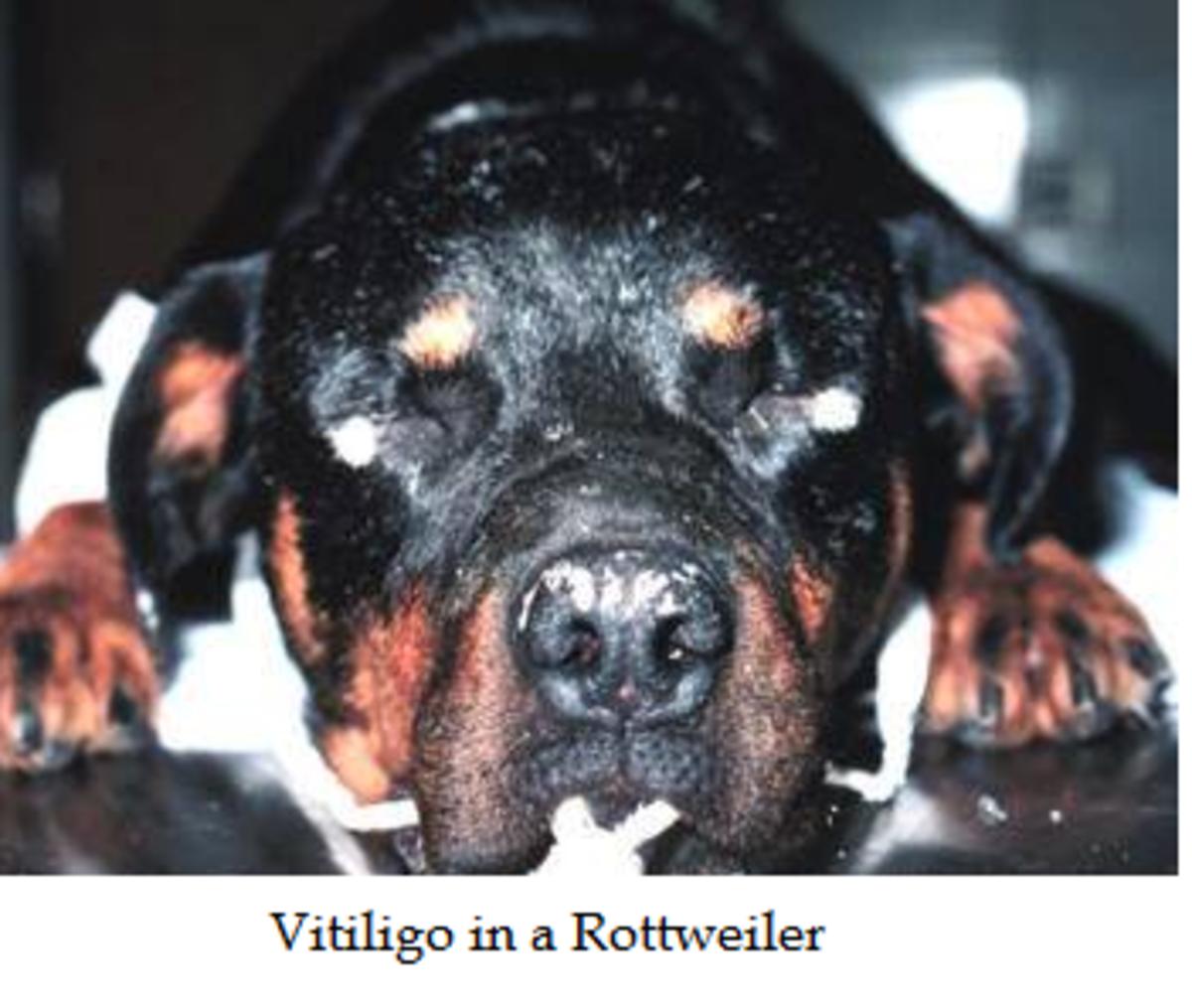 vitiligo in rott