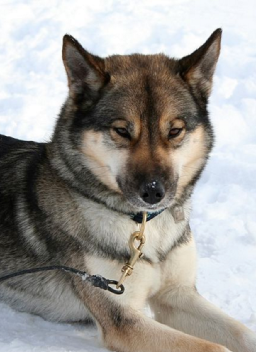 Six Stunning Siberian Husky Coat Colors - Dog Discoveries c1bb3df82