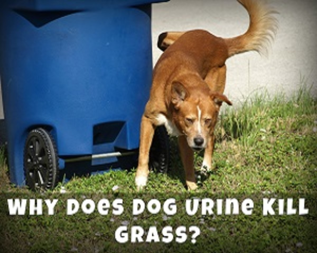 Why Does Dog Urine Kill Grass