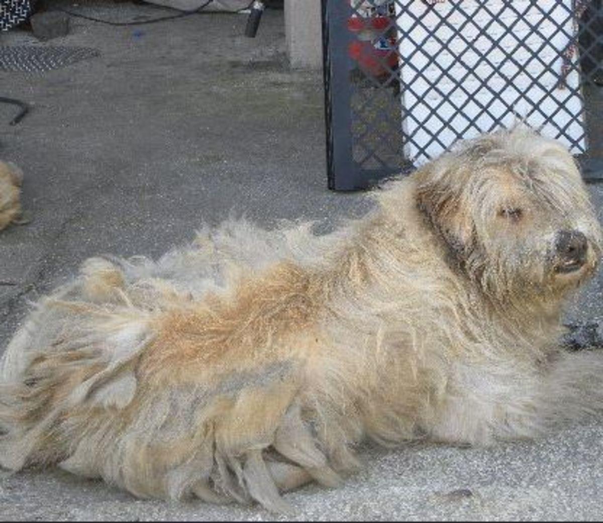 dog-coat-full-of-mats
