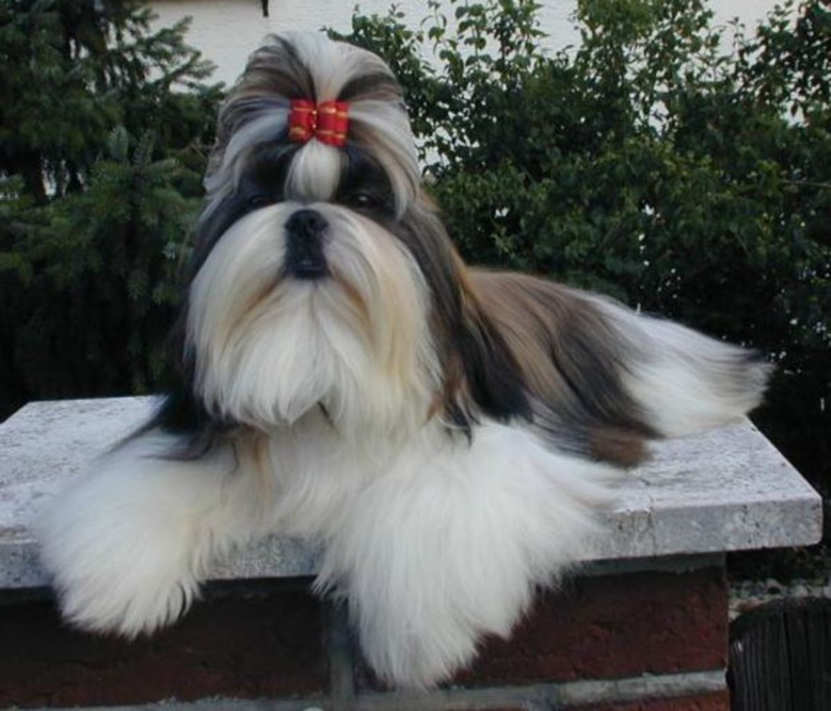 What Is A Topknot For Dogs Dog Discoveries