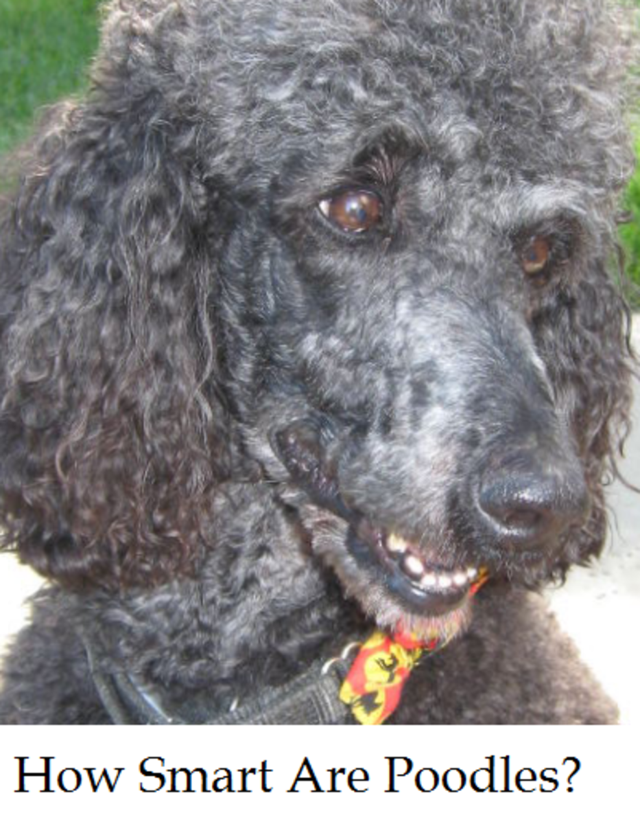 are poodles smart dogs