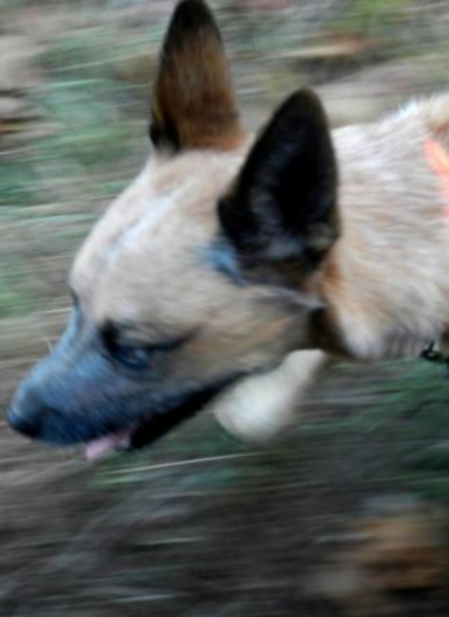 dog air scenting