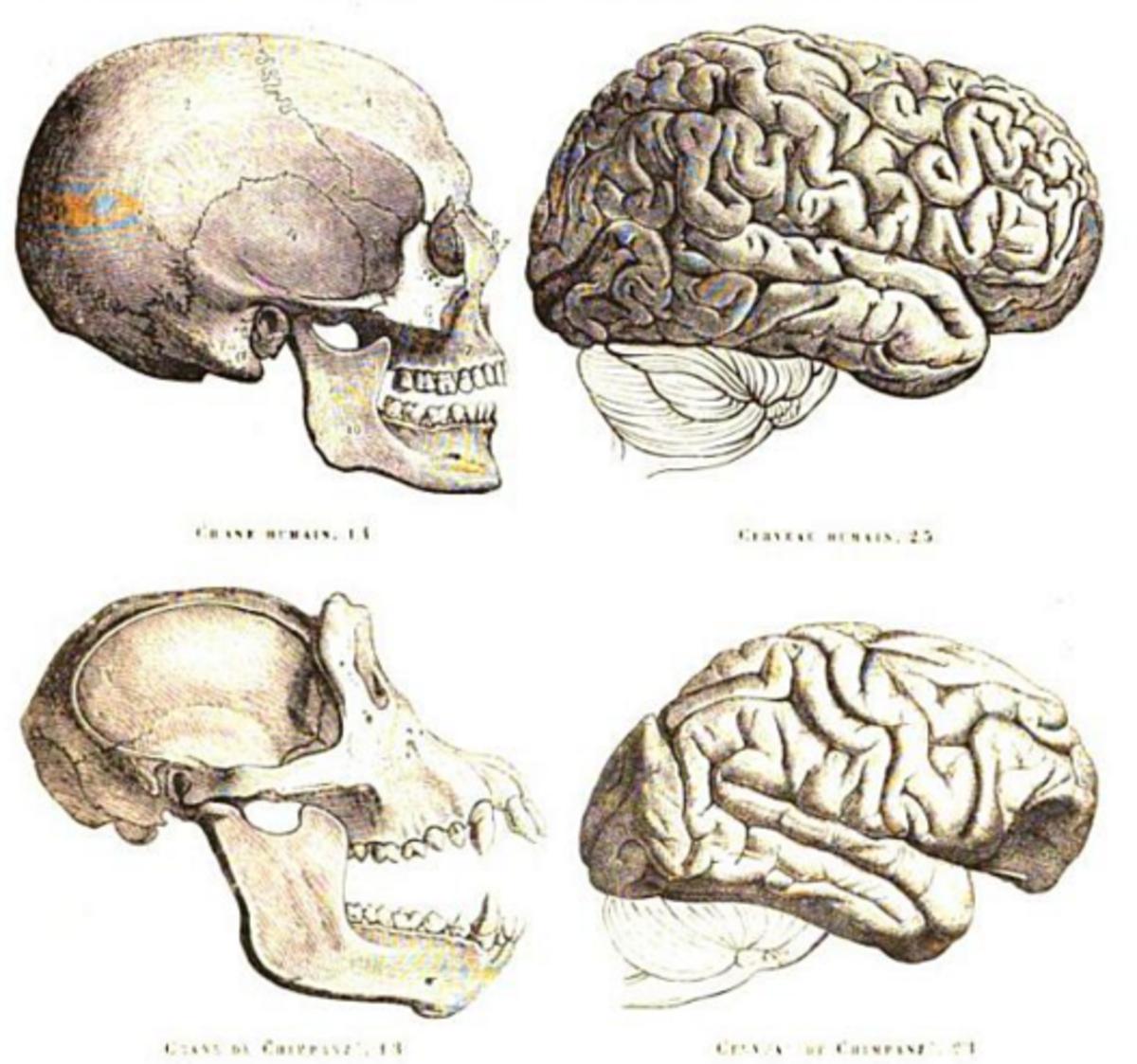 Humans versus chimp  skull
