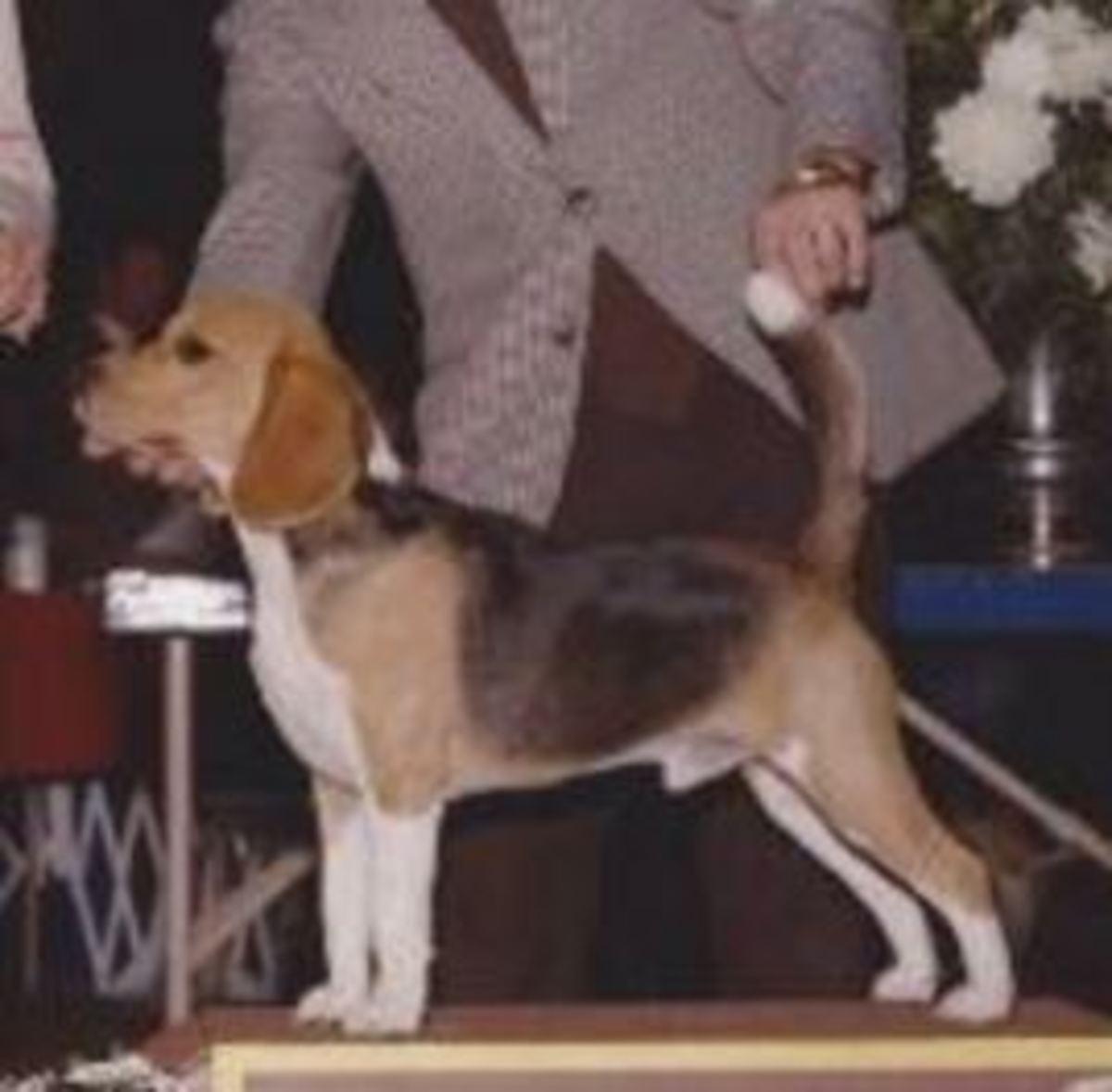 dog show judge