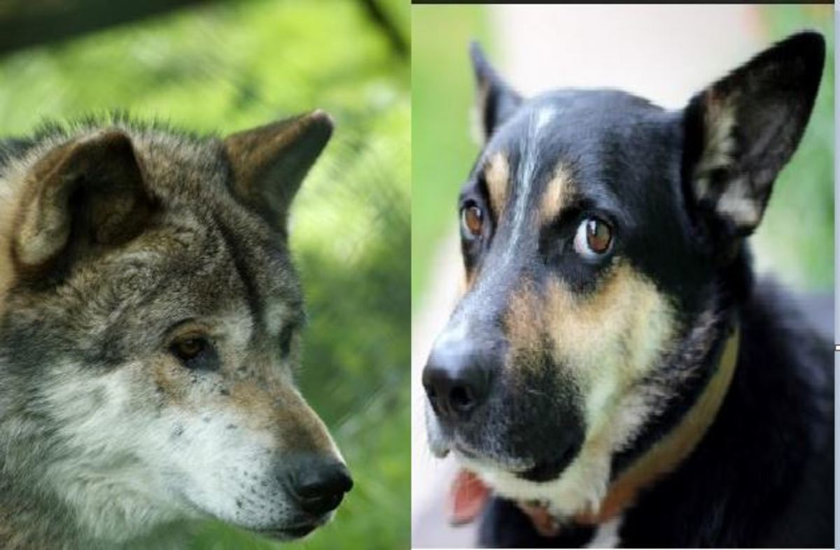 30 Fascinating Differences Between Wolves and Dogs - Dog Discoveries
