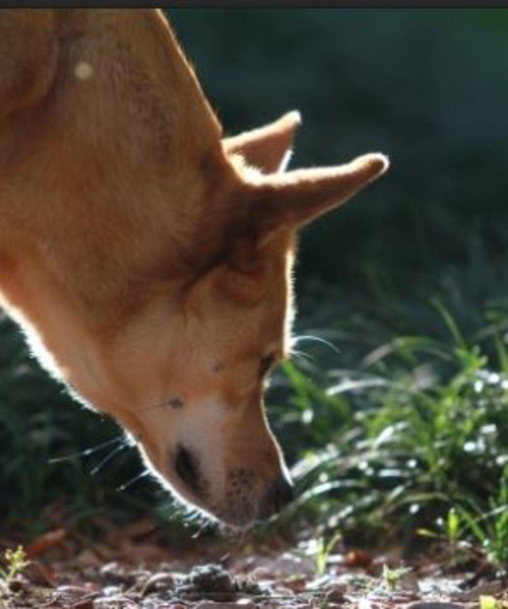 trailing dog