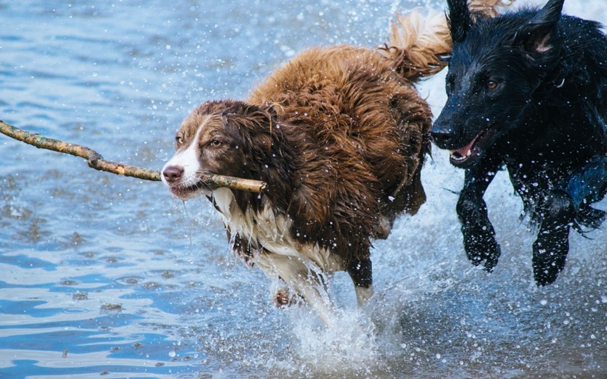 The Engage Disengage Game for Dogs