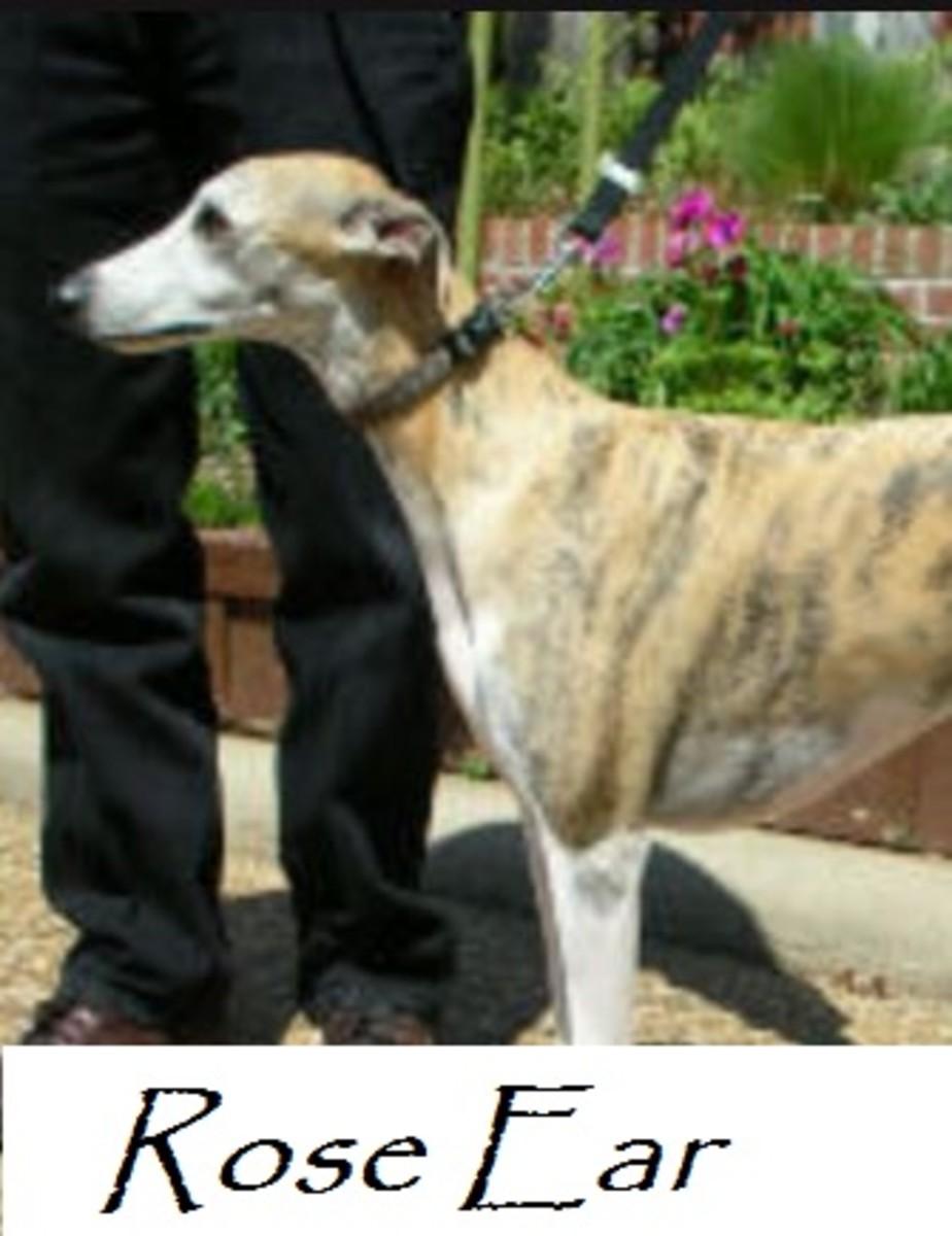 rose ear dog