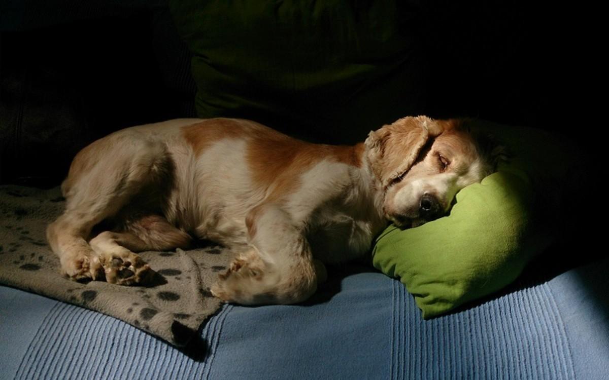Dog Urinate While Sleeping