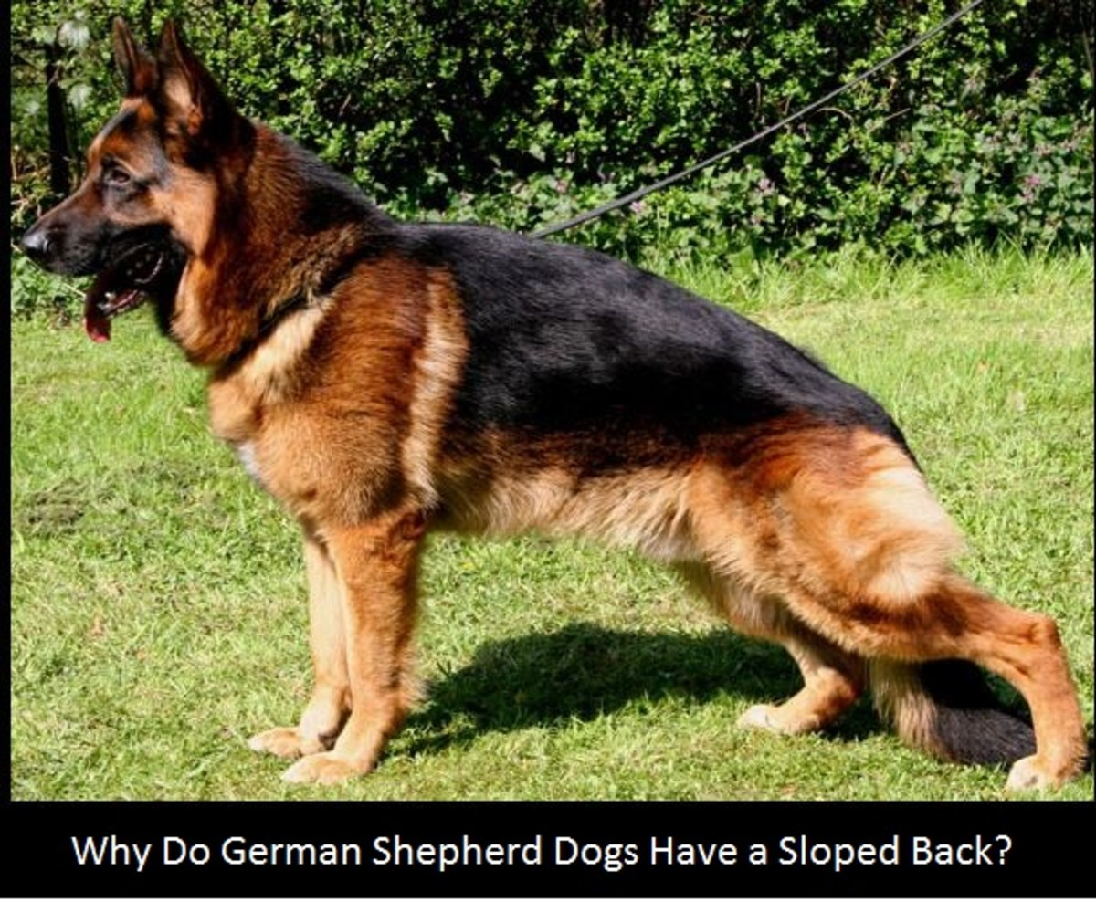 Why Do German Shepherds Have a Sloping Back? - Dog Discoveries
