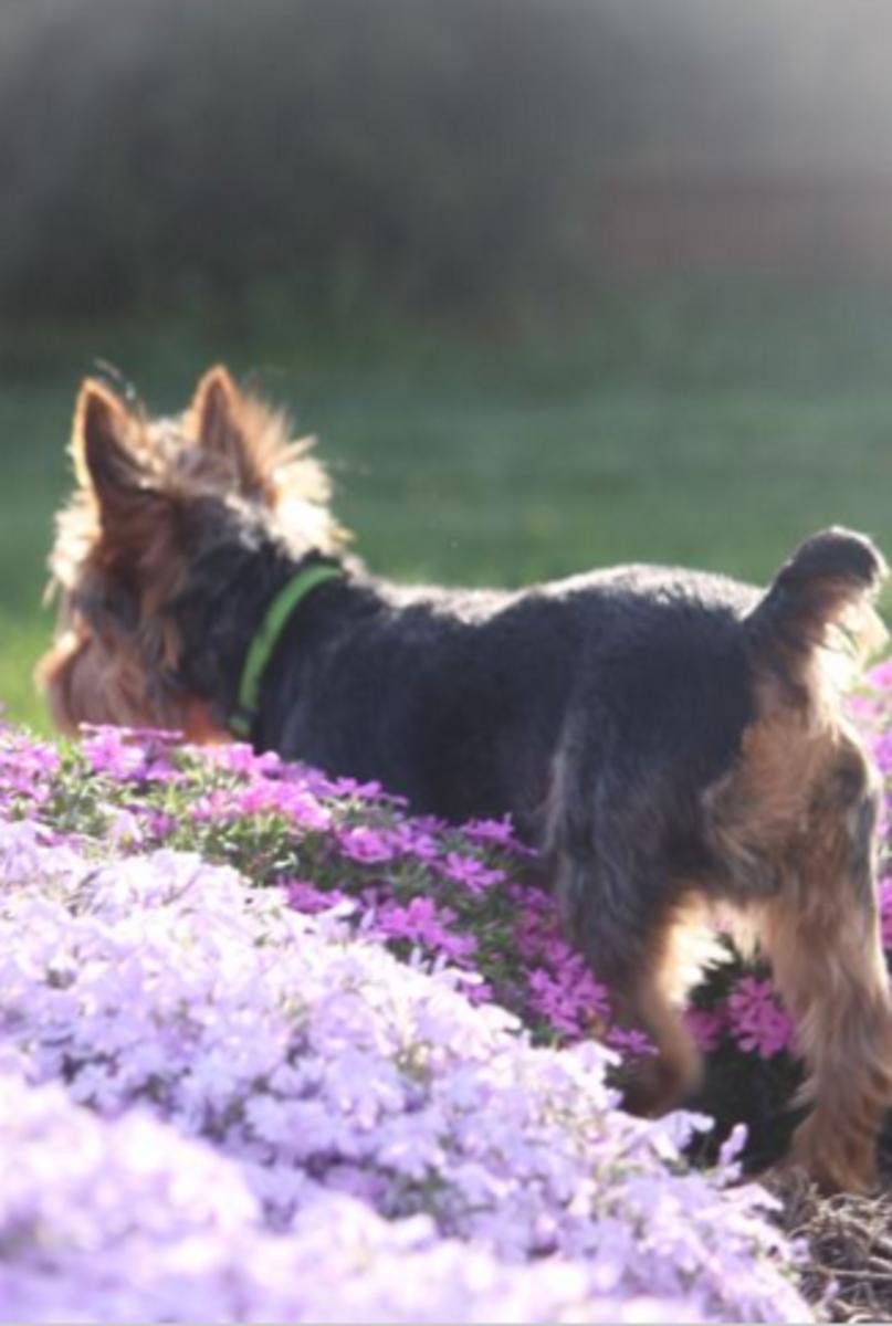 yorkshiter terrier tail