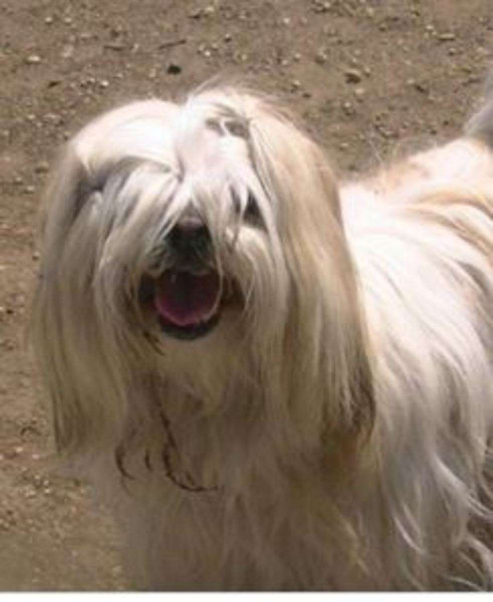Lhasa apso worked as deputies.