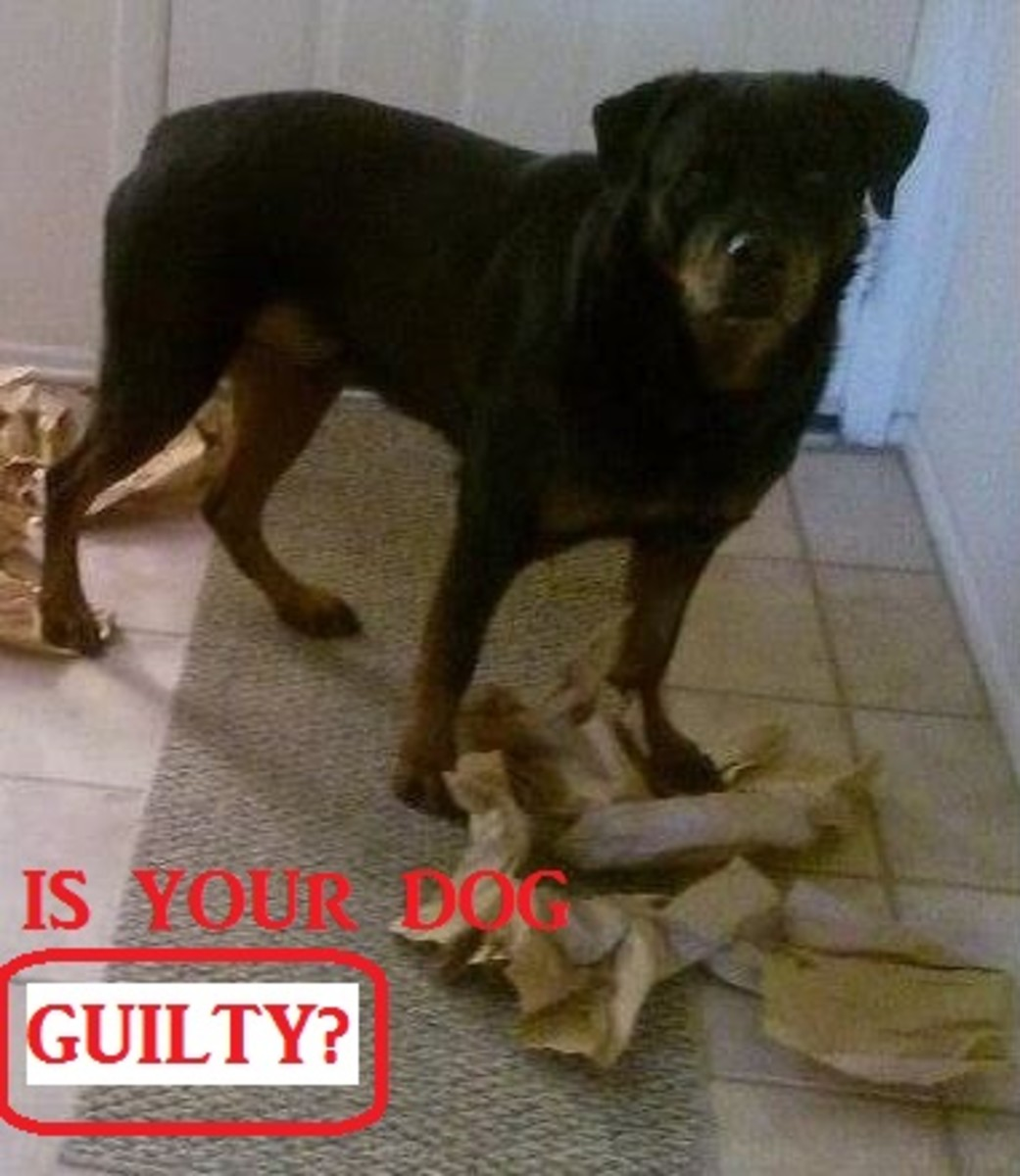 guilty-dog