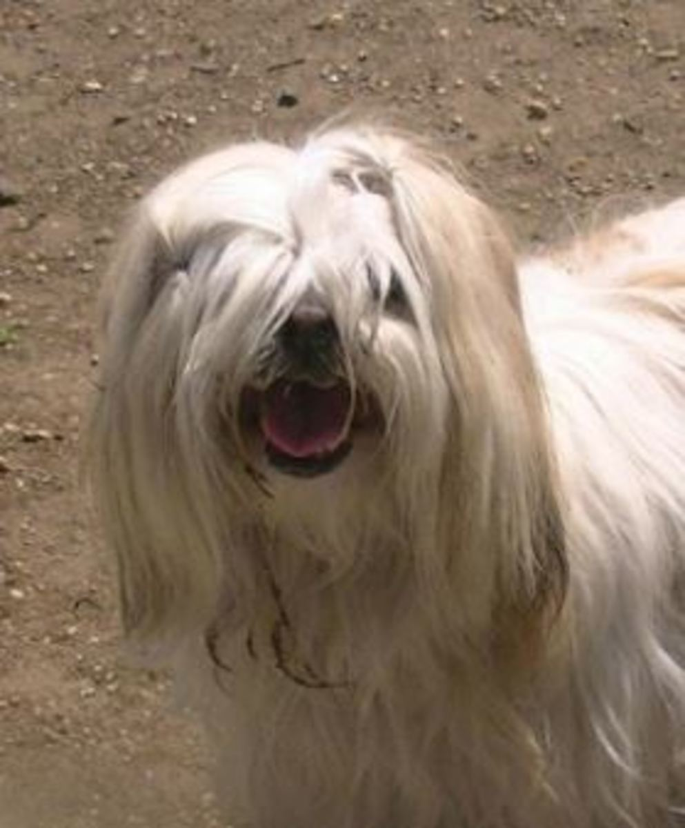 Dogs With Hair Covering Their Eyes
