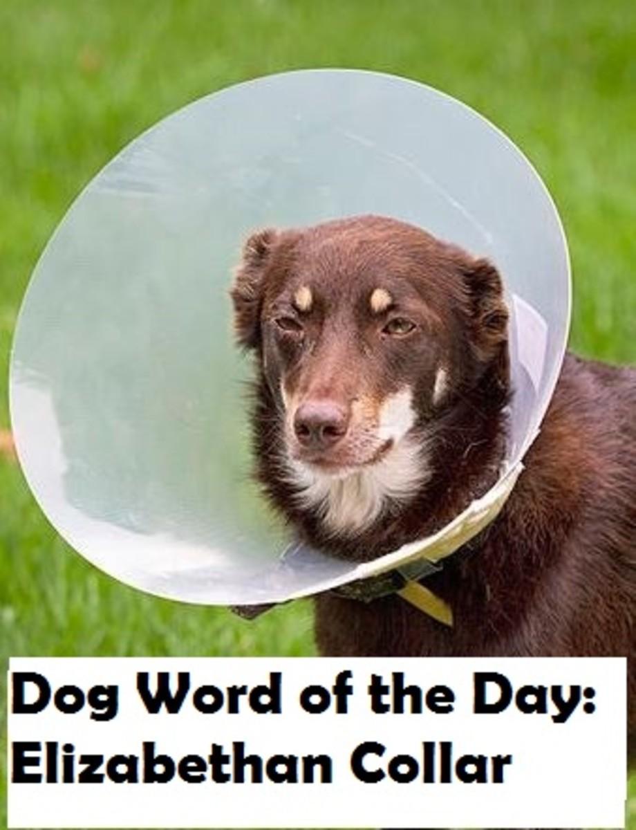 dog-elizabethan-collar