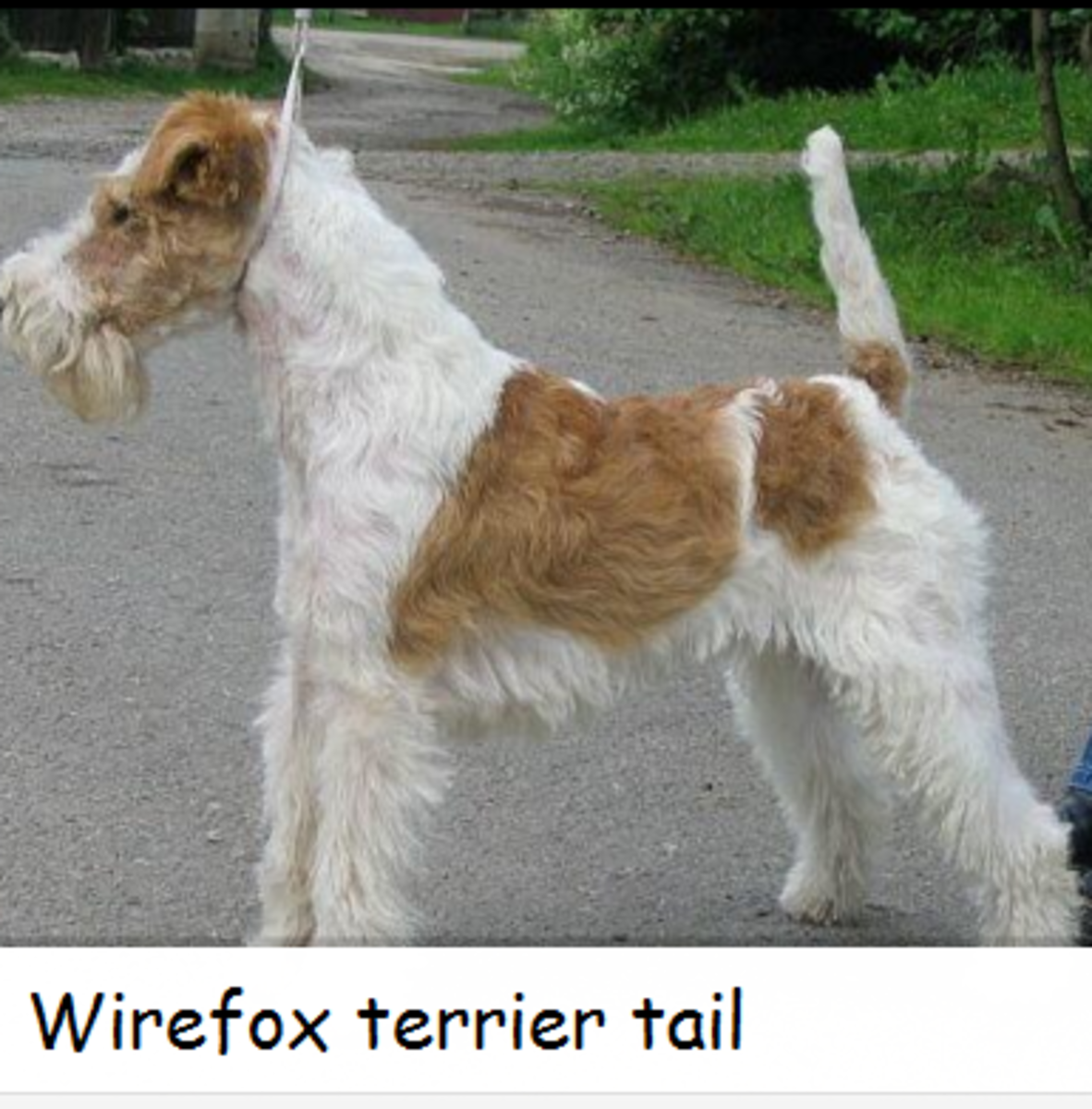 wirefox terrier tail