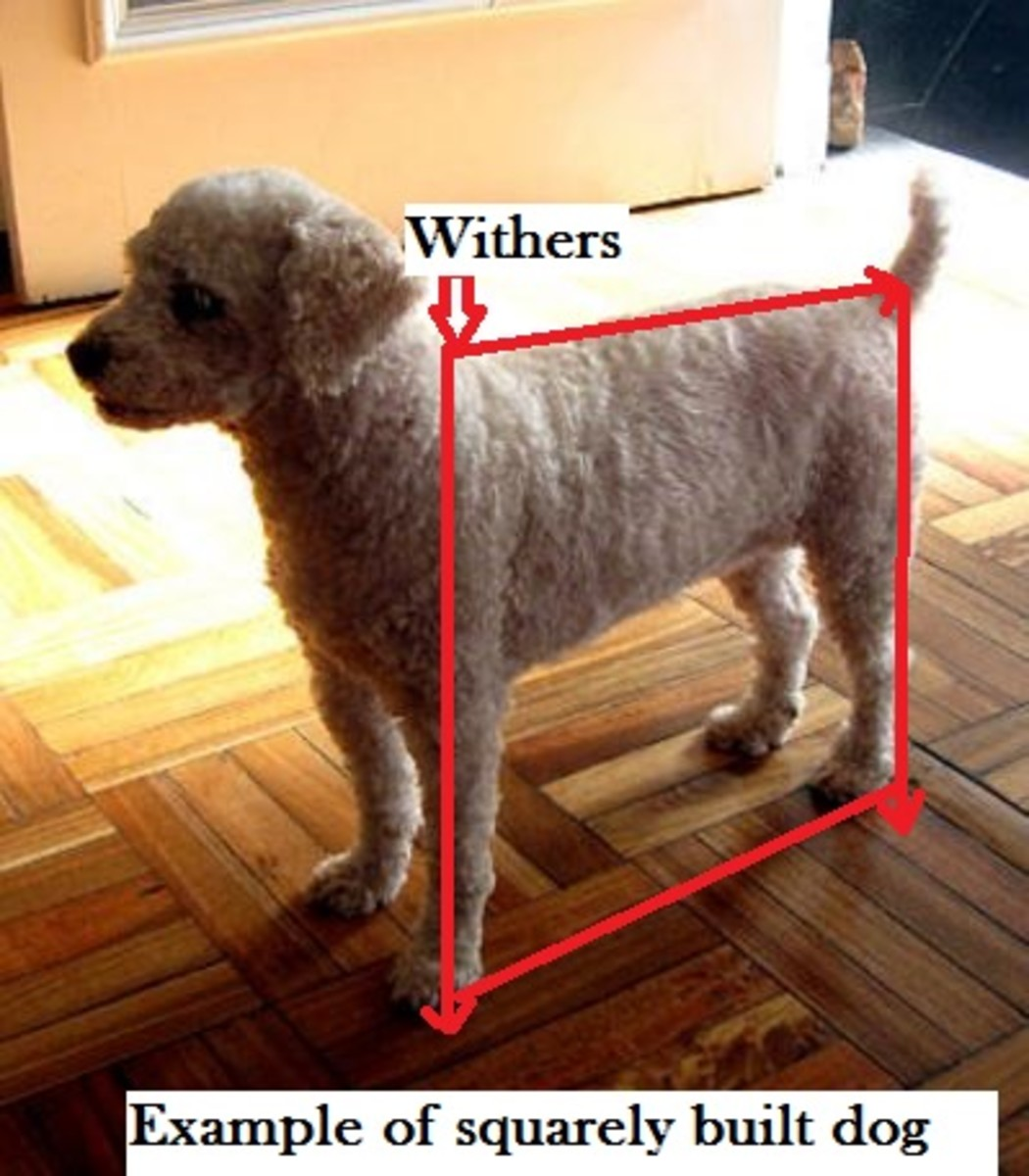 square built dog withers