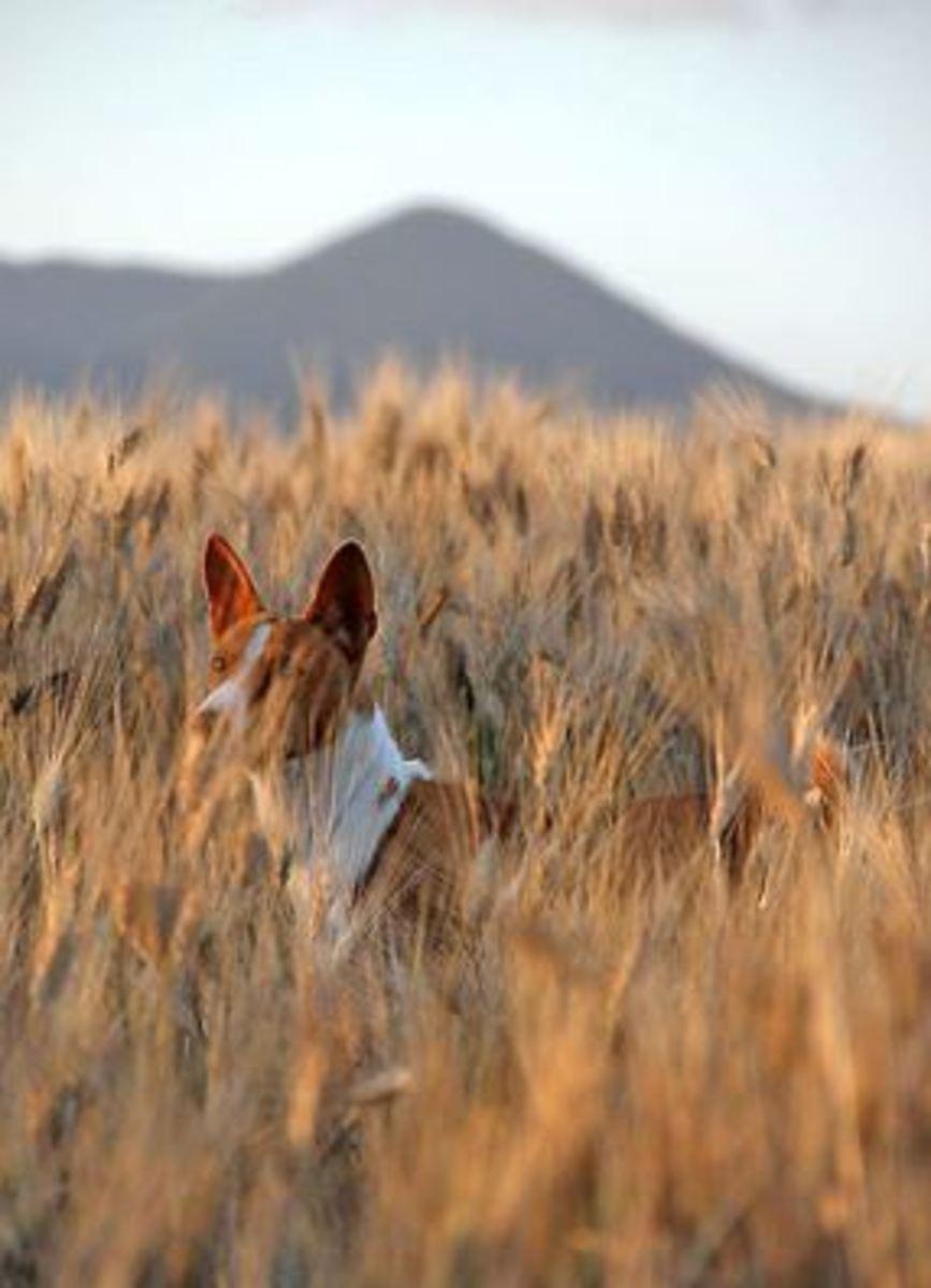 basenji hunting
