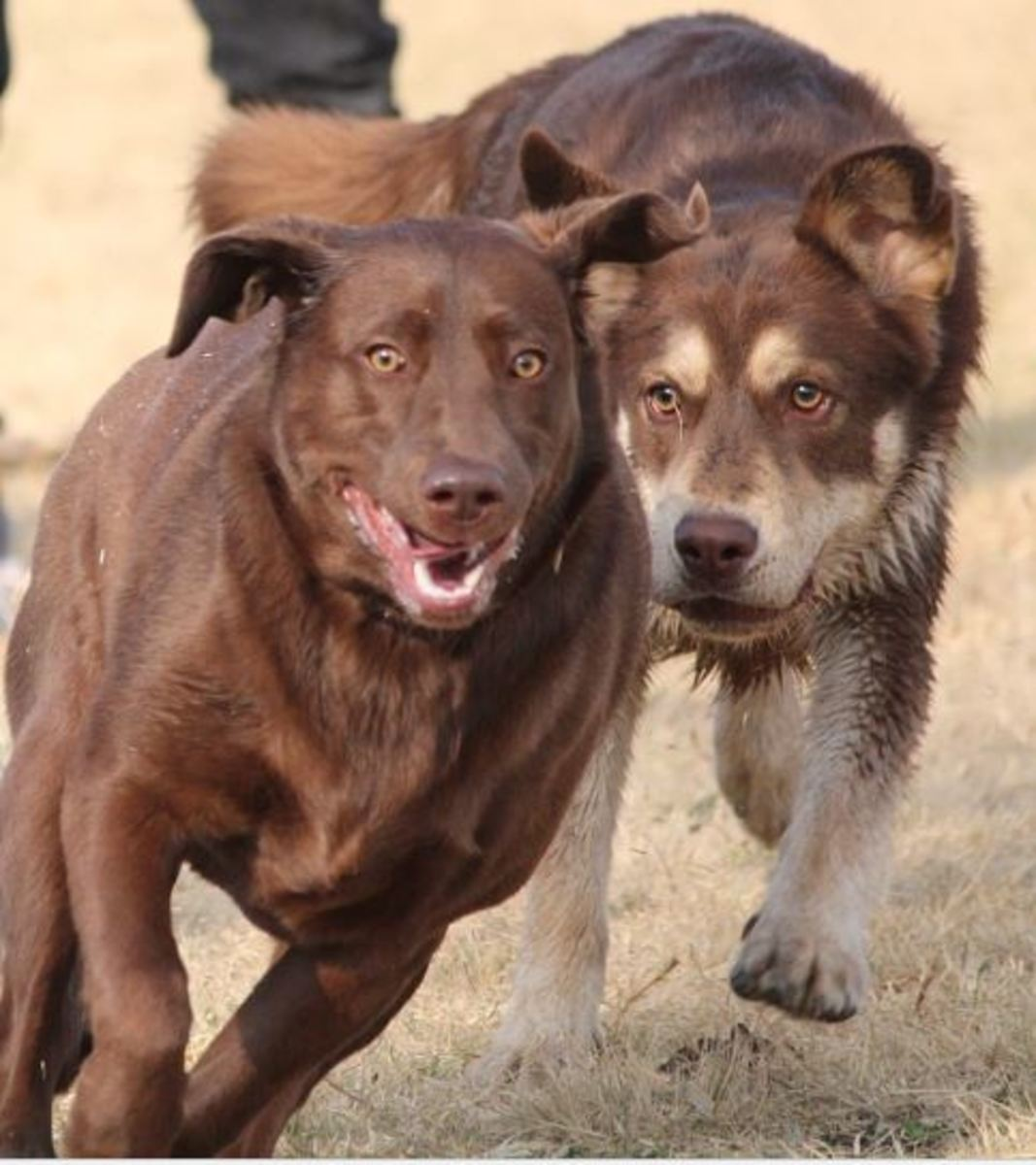 Redirected aggression in dogs.