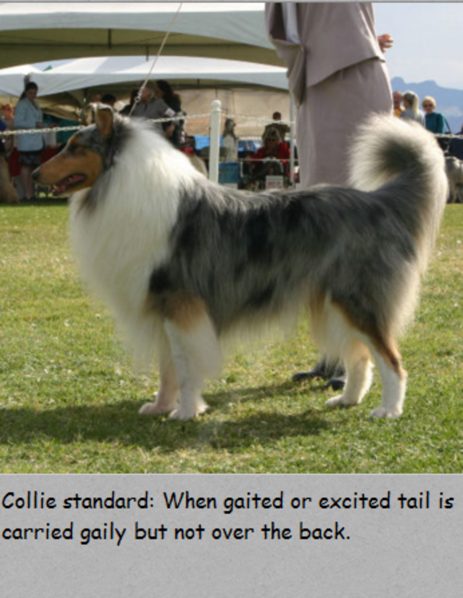 collie tail carriage