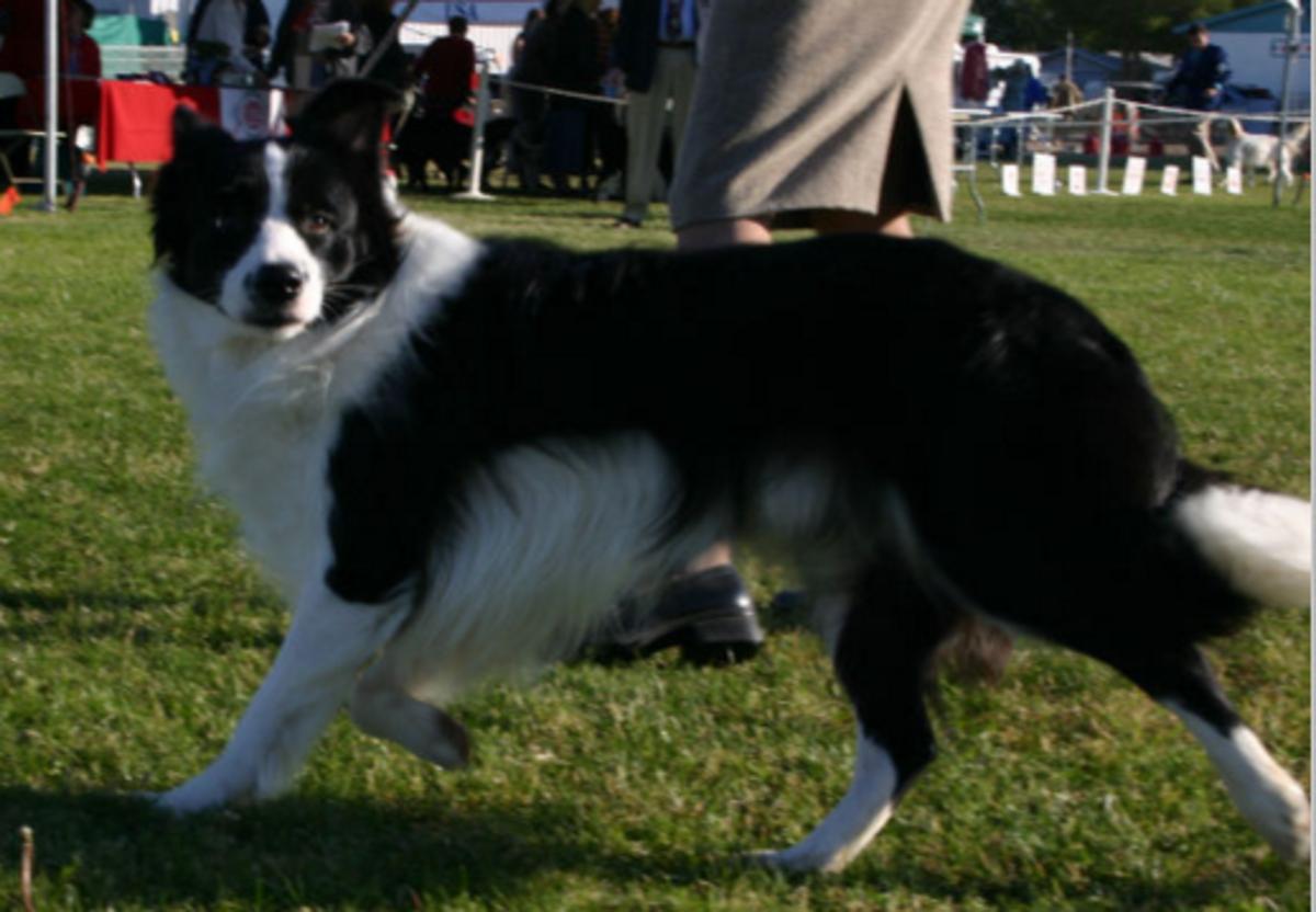 A dog trotting with little effort