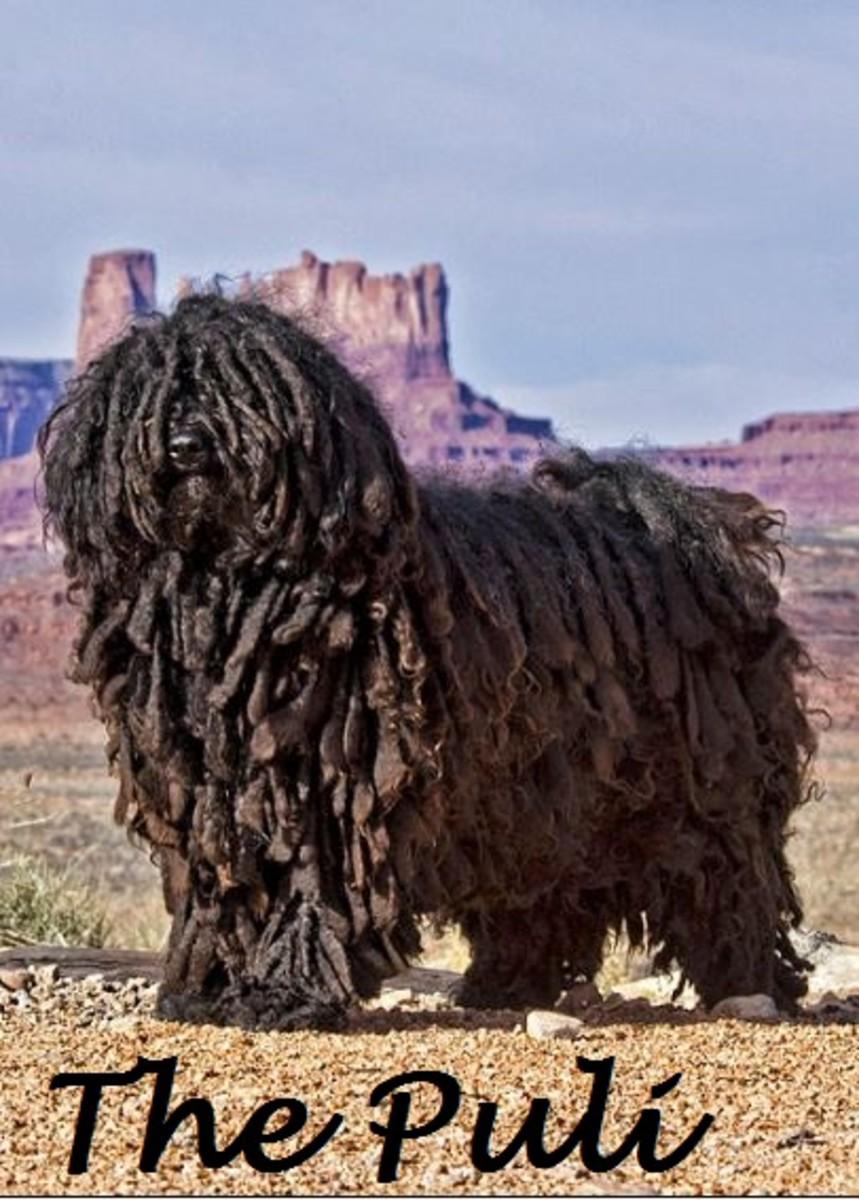 Dog Breeds With Dreadlocks Dog Discoveries