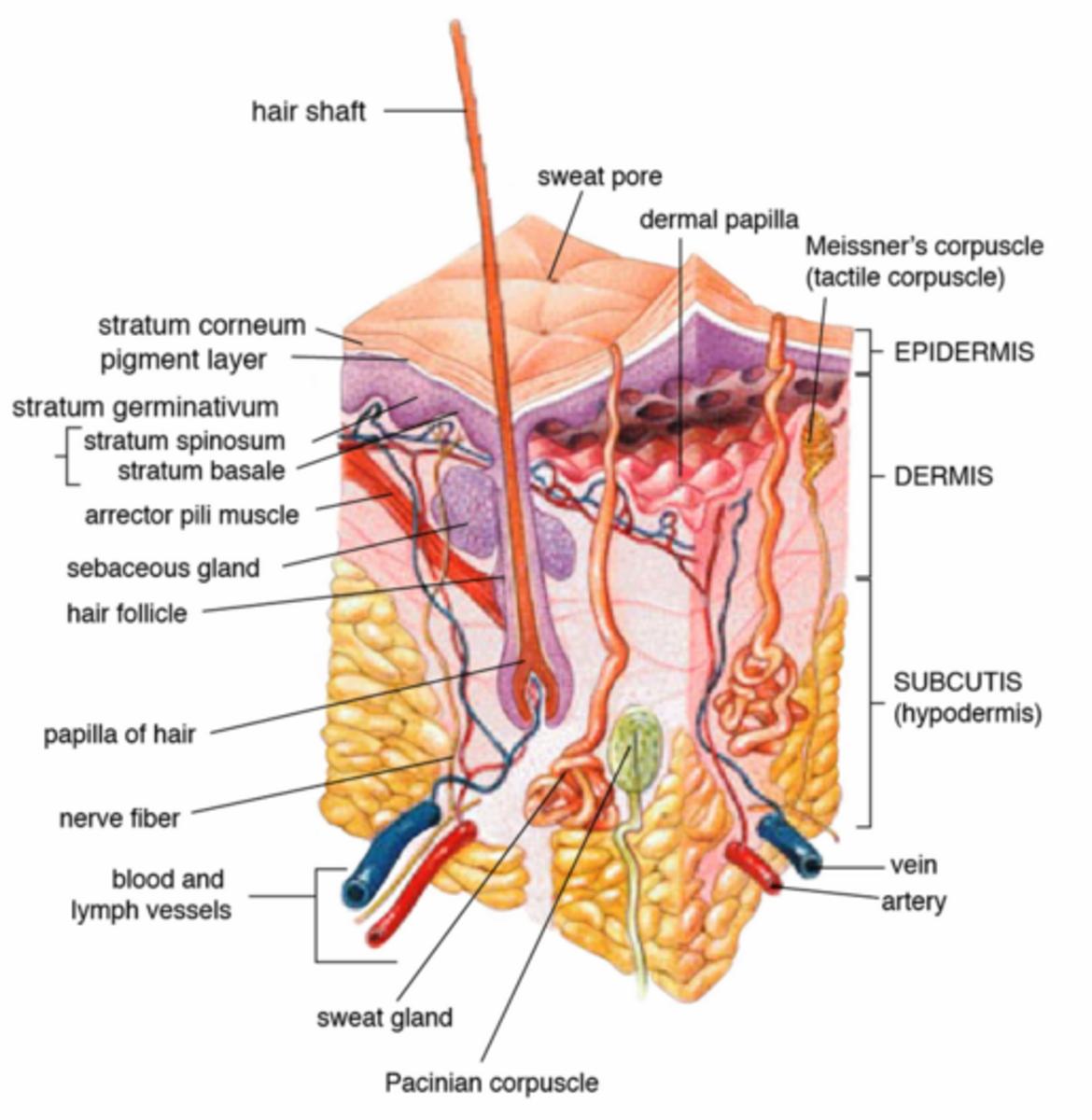 Skin anatomy and skin follicle, Wikipedia Commons Public Domain