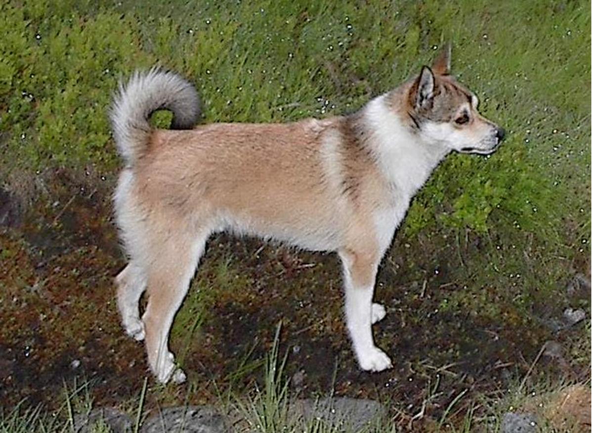 Norwegian lundenhund
