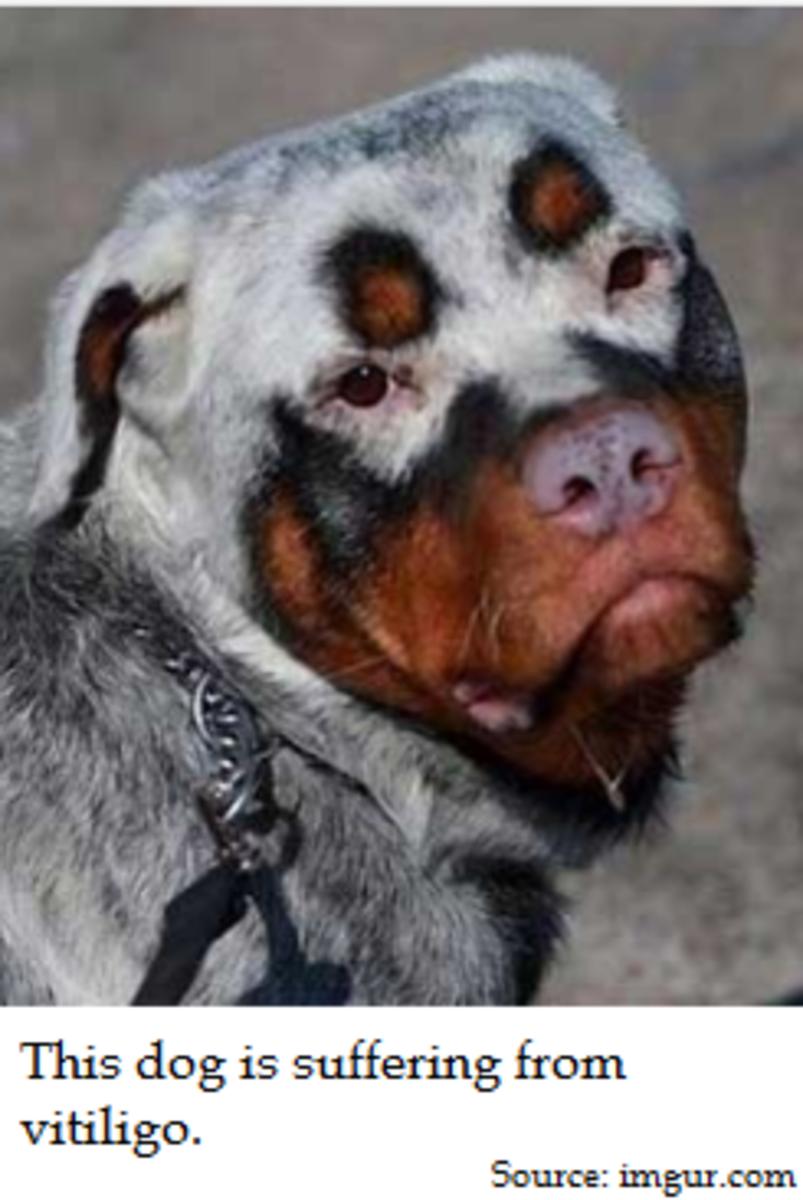 dog vitiligo