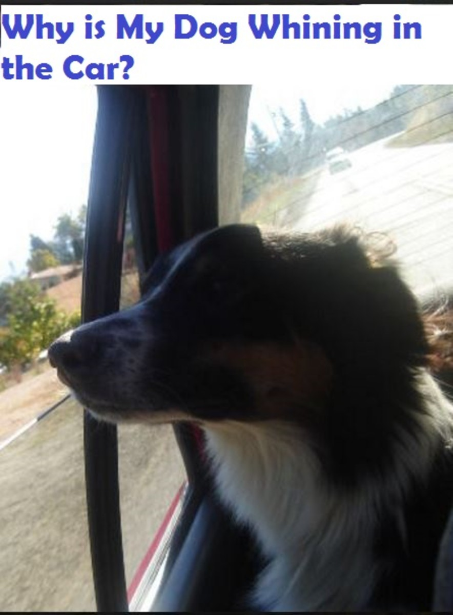 dog-whining-in-the-car