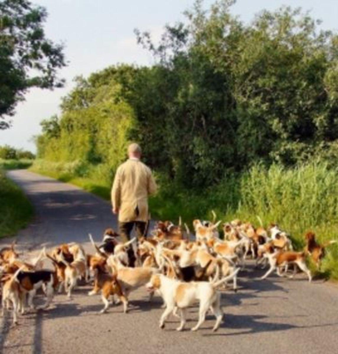 baying hounds