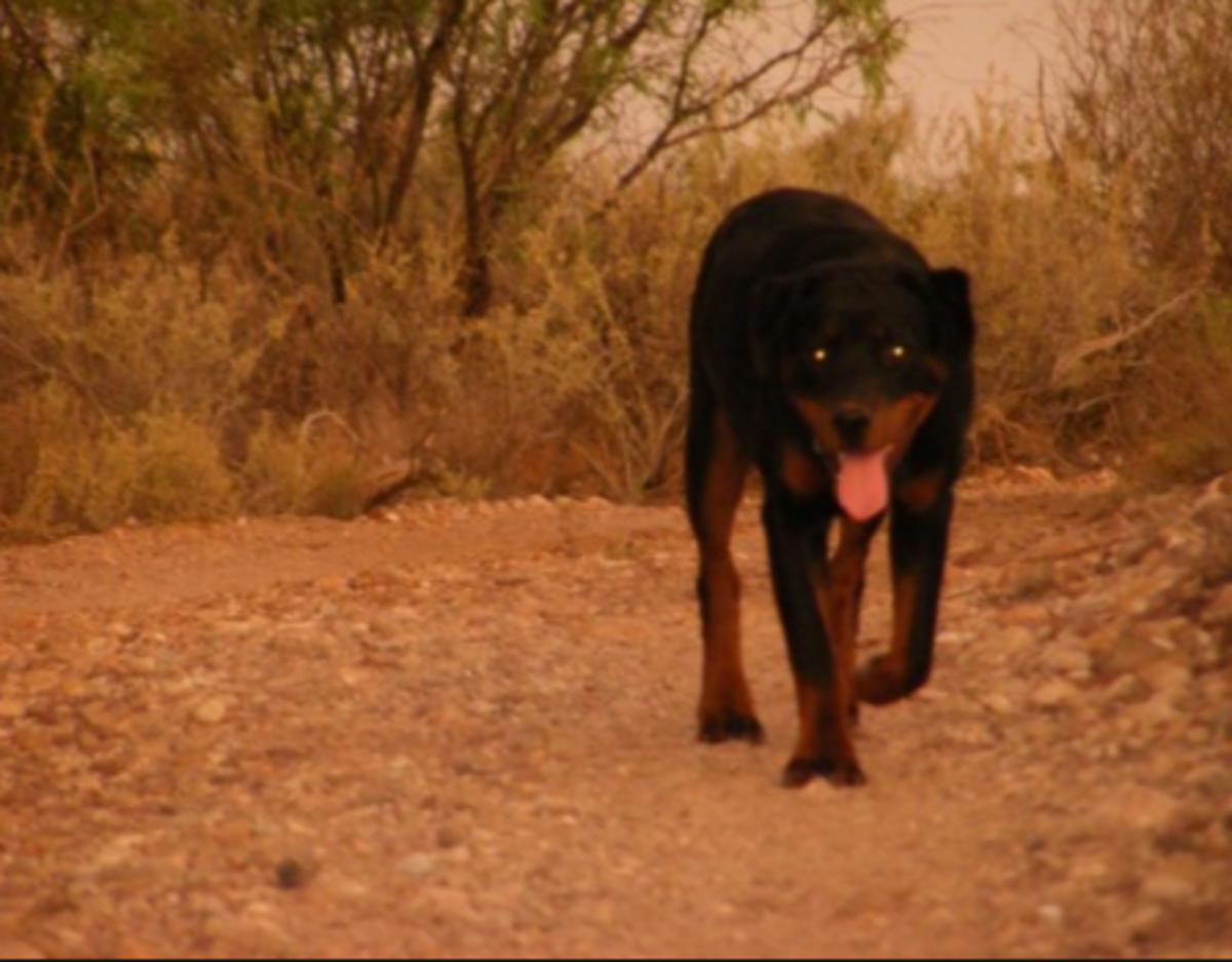 dog hunting night
