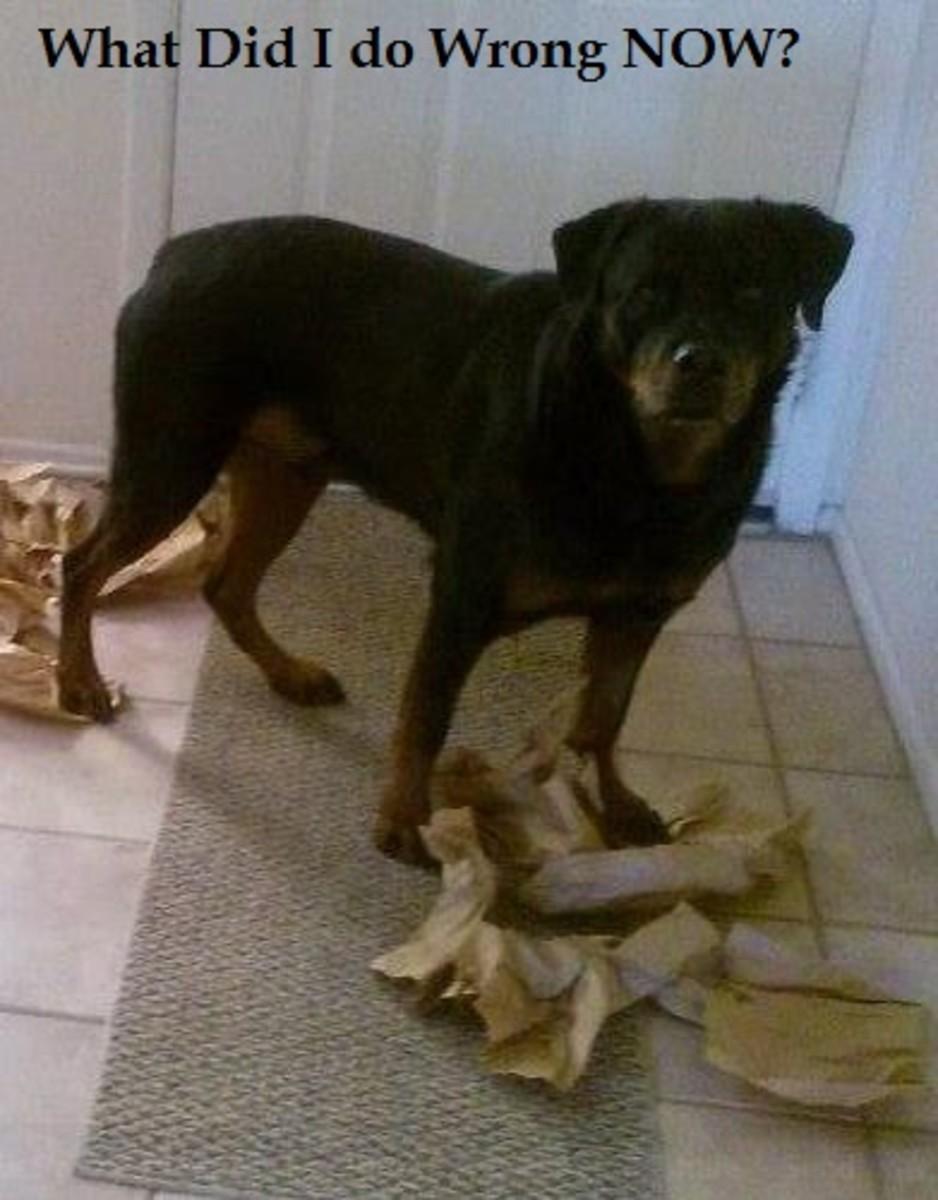 dog guilty look