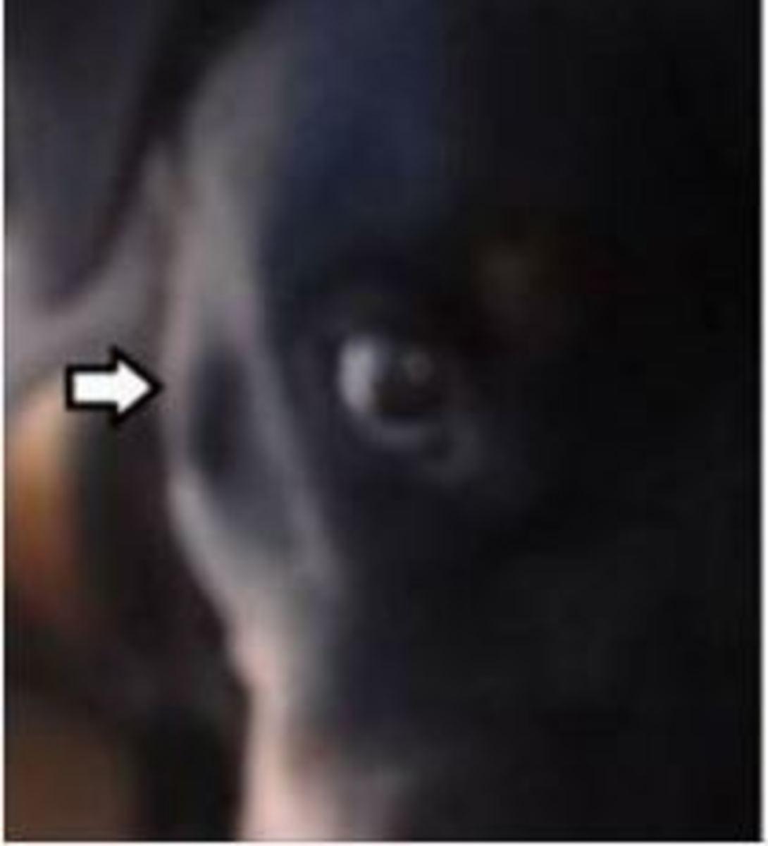 lymph-node-face-dog