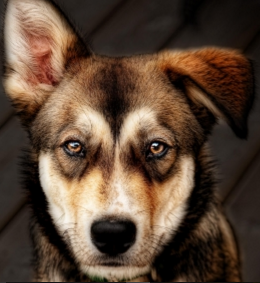brown eyes in dogs