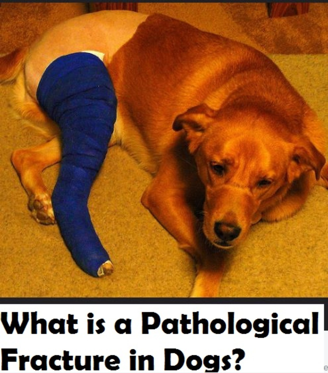 dog-pathological-fracture