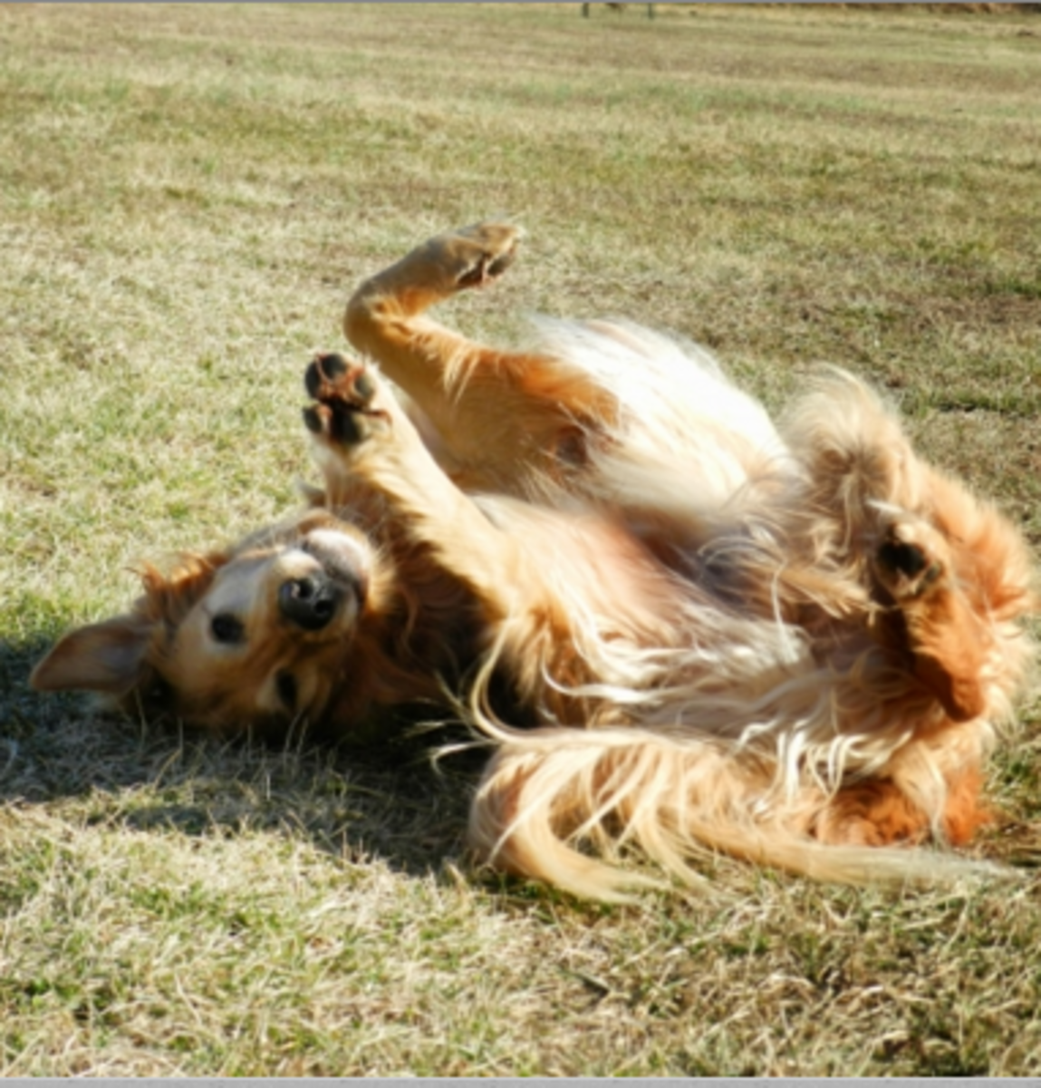 dog rolling after bath