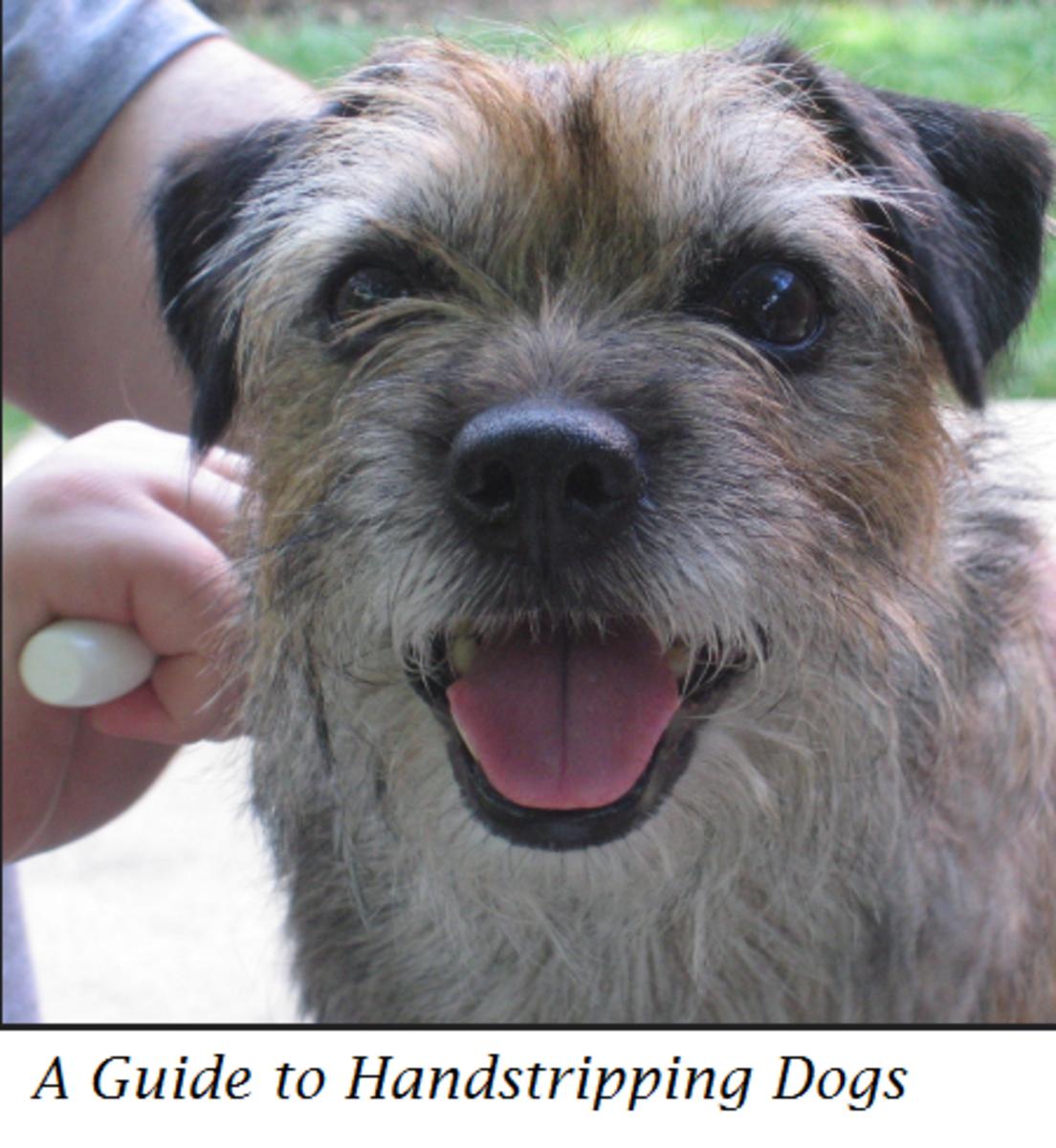 hand stripping dog terrier