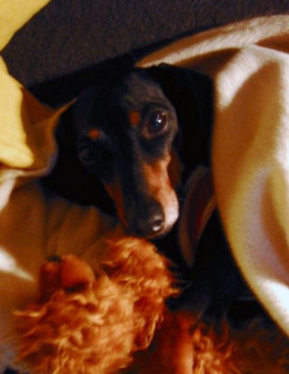 cold-dachshund
