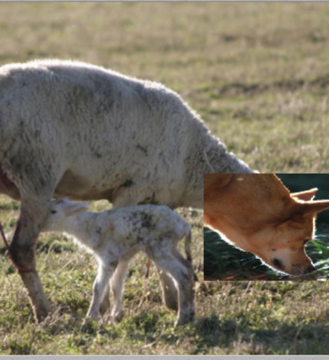 ewe head dog
