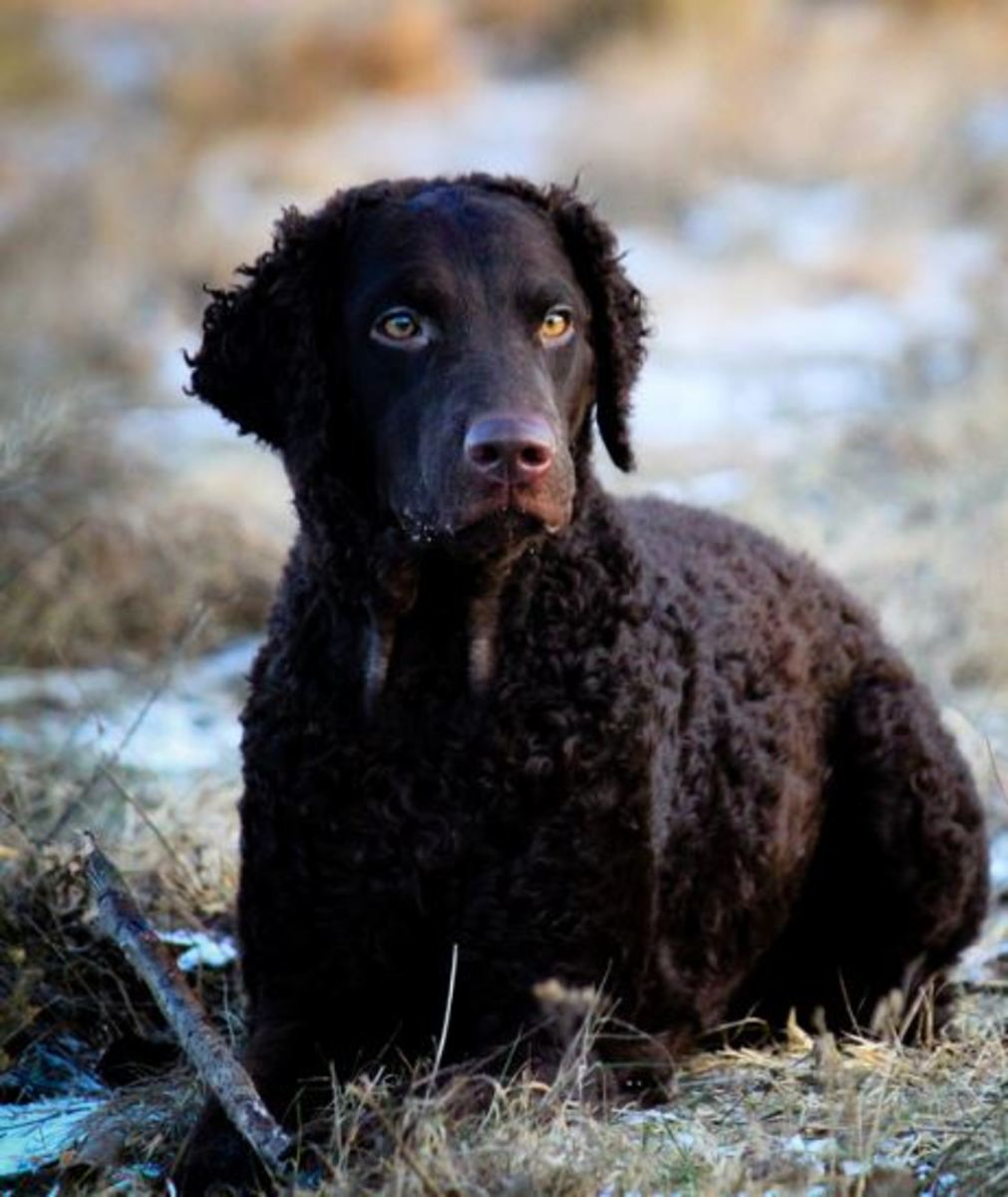 curly-coated-retriever