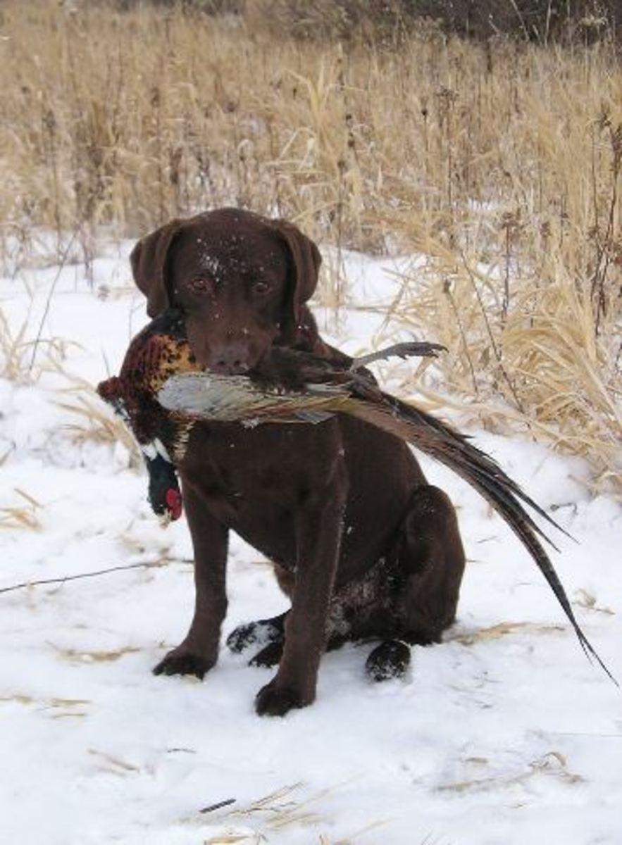 labrador-retriever-hunting