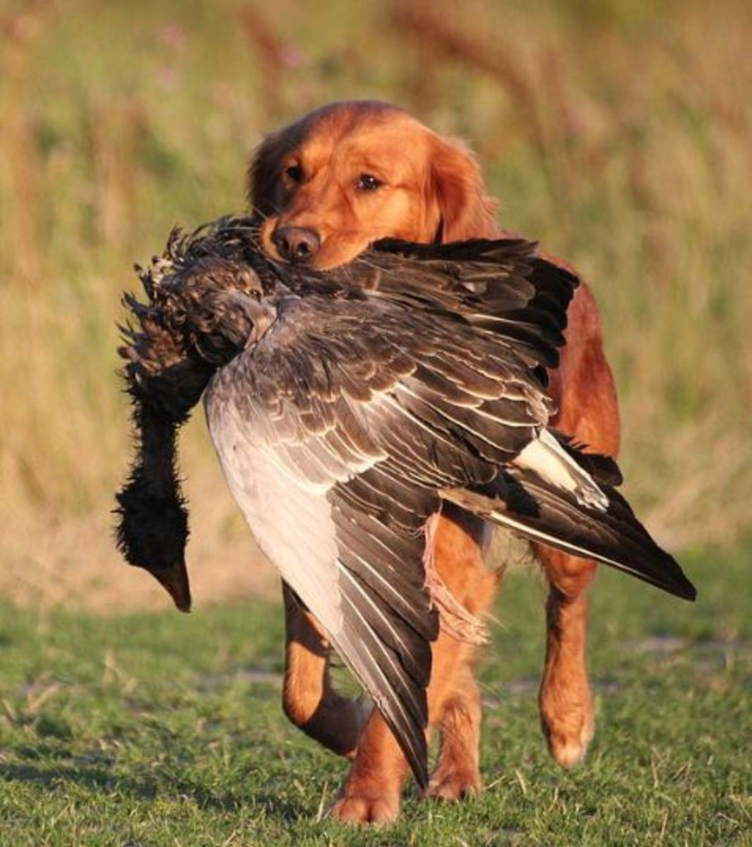 golden-retriever-hunting