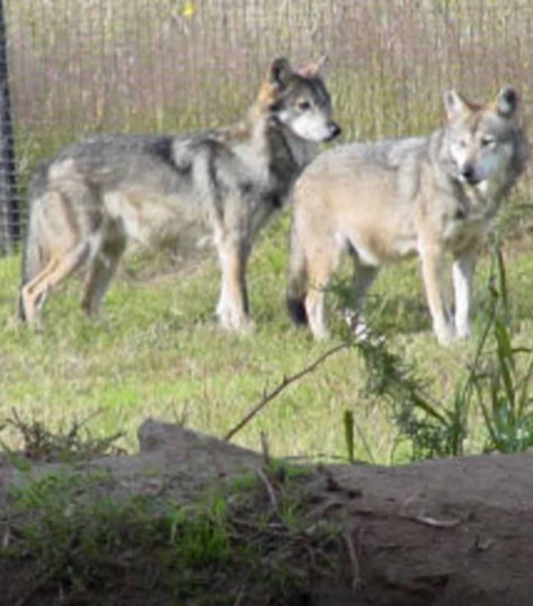 breeding-dogs-season
