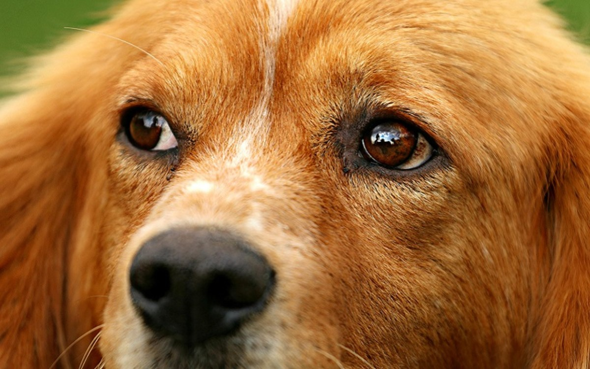 What are the Signs of a Dog Miscarriage?