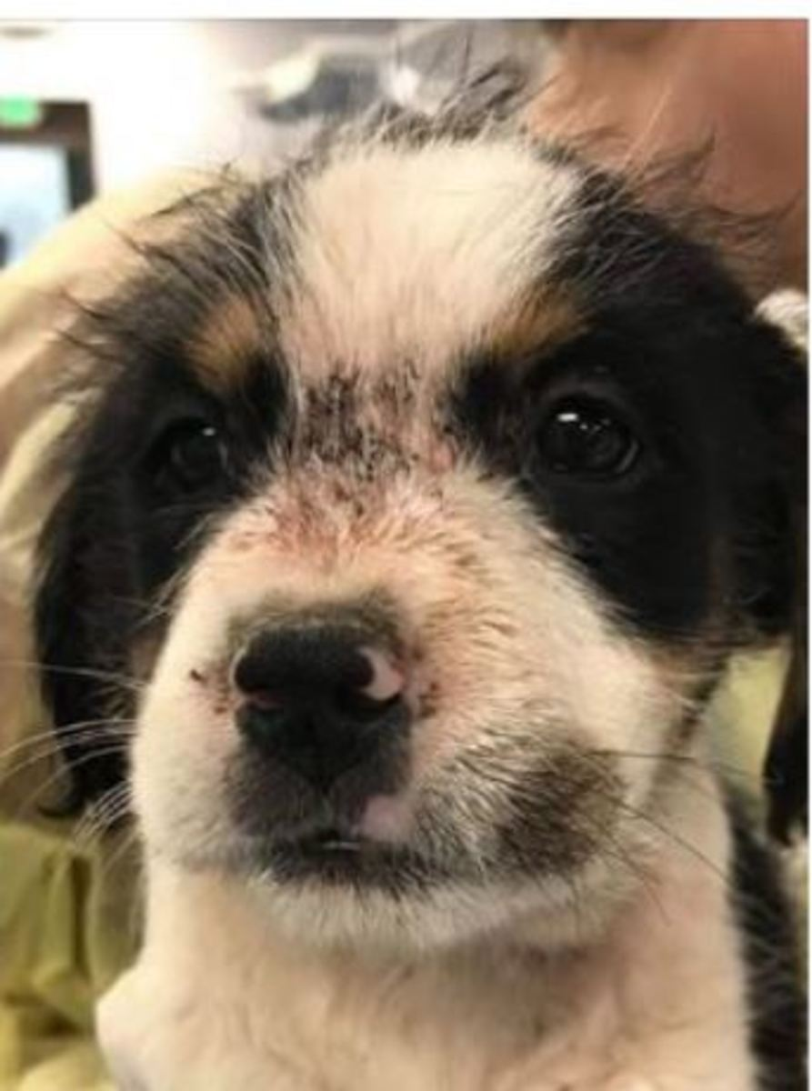 A puppy covered in flea dirt