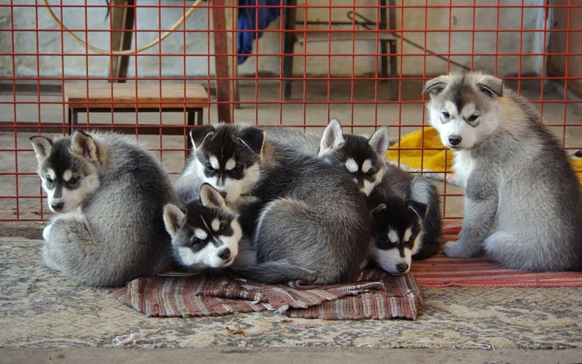 What Determines Litter Size in Dogs