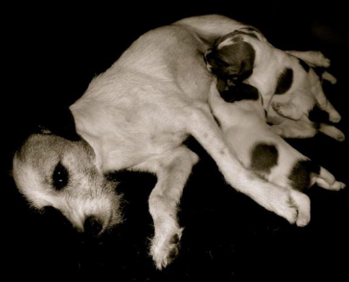 Diarrhea in newborn puppies