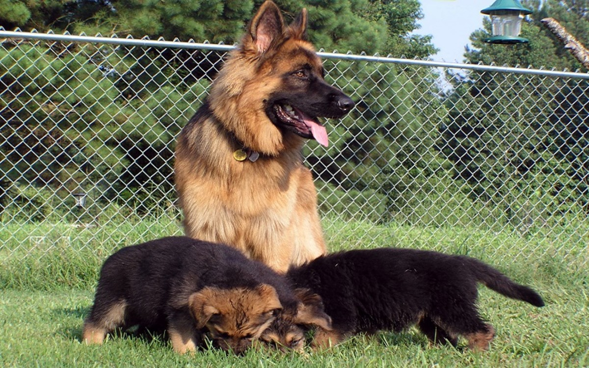 Understanding the Lactation Period in Dogs